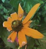 Αράχνη σε ένα λουλούδι Στοκ Φωτογραφία