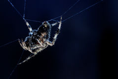 Αράχνη σεληνόφωτου από την πλευρά Στοκ φωτογραφίες με δικαίωμα ελεύθερης χρήσης