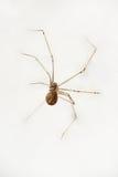 Αράχνη σπιτιών Στοκ φωτογραφίες με δικαίωμα ελεύθερης χρήσης