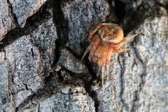 Αράχνη στη σύσταση φλοιών tree/on Στοκ Εικόνες