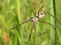 Αράχνη στη χλόη Στοκ Εικόνες