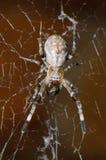Αράχνη στον ιστό αράχνης Στοκ εικόνα με δικαίωμα ελεύθερης χρήσης