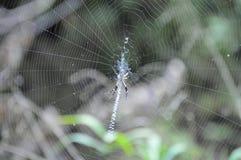 Αράχνη στον Ιστό που δημιουργεί το σχέδιο Στοκ φωτογραφία με δικαίωμα ελεύθερης χρήσης