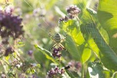 Αράχνη στον Ιστό στο φυσικό βιότοπό του Στοκ Φωτογραφίες