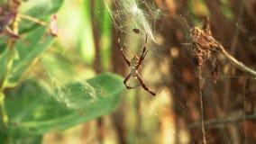 Αράχνη στον Ιστό απόθεμα βίντεο