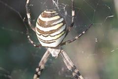 Αράχνη στον Ιστό Στοκ Φωτογραφίες