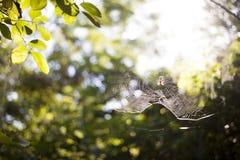 Αράχνη στον Ιστό Στοκ εικόνες με δικαίωμα ελεύθερης χρήσης