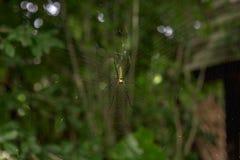 Αράχνη στον Ιστό Στοκ Εικόνα