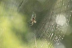 Αράχνη στο κέντρο του Ιστού Στοκ Εικόνες