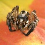 Αράχνη στο μέτωπο Στοκ Εικόνες