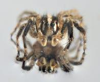 Αράχνη στο μέτωπο Στοκ εικόνες με δικαίωμα ελεύθερης χρήσης