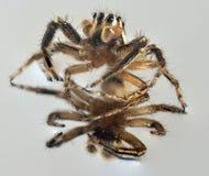 Αράχνη στο μέτωπο Στοκ φωτογραφία με δικαίωμα ελεύθερης χρήσης
