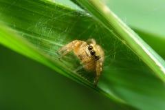 Αράχνη στο πράσινο φύλλο Στοκ φωτογραφία με δικαίωμα ελεύθερης χρήσης