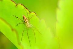 Αράχνη στο πράσινο φύλλο Στοκ φωτογραφίες με δικαίωμα ελεύθερης χρήσης