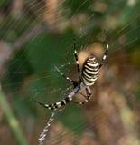 Αράχνη στο spiderweb το καλοκαίρι Στοκ φωτογραφία με δικαίωμα ελεύθερης χρήσης