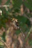 Αράχνη στο spiderweb το καλοκαίρι Στοκ εικόνες με δικαίωμα ελεύθερης χρήσης