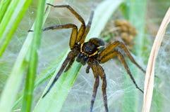 Αράχνη συνόλων που φρουρεί τη φωλιά Στοκ Φωτογραφίες