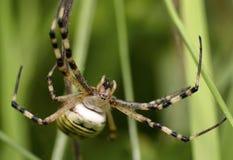 Αράχνη σφήκα-τιγρών Στοκ Φωτογραφία