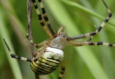 Αράχνη σφήκα-τιγρών Στοκ Εικόνες