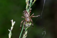 Αράχνη σφαίρα-υφαντών στοκ φωτογραφίες