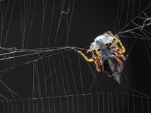 Αράχνη σφαίρα-υφαντών Στοκ Εικόνες