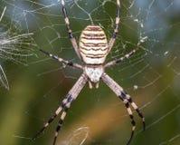 Αράχνη σφηκών στοκ φωτογραφία