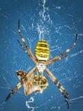 Αράχνη σφηκών, Argiope με το θήραμά του Στοκ Φωτογραφίες