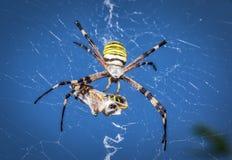 Αράχνη σφηκών, Argiope με το θήραμά του Στοκ Εικόνες