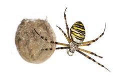 Αράχνη σφηκών, Argiope bruennichi, ένωση Στοκ φωτογραφία με δικαίωμα ελεύθερης χρήσης