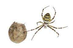 Αράχνη σφηκών, Argiope bruennichi, ένωση Στοκ Φωτογραφίες