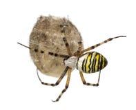 Αράχνη σφηκών, Argiope bruennichi, ένωση Στοκ Φωτογραφία