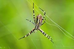 Αράχνη σφηκών, bruennichi Argiope, θηλυκό Στοκ εικόνες με δικαίωμα ελεύθερης χρήσης