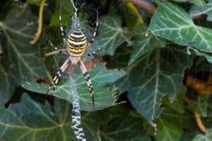 Αράχνη σφηκών (bruennichi Argiope) που περιμένει τα θηράματα στον Ιστό του Στοκ Εικόνες