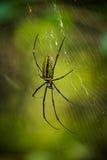 Αράχνη σφηκών (bruennichi Argiope) στο δίχτυ Στοκ Εικόνες
