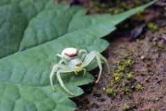 Αράχνη της οικογένειας Thomisidae γνωστής ως γένος Misum αραχνών καβουριών Στοκ Εικόνα