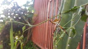 Αράχνη τιγρών Στοκ Φωτογραφίες