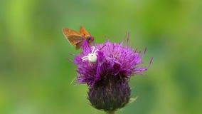 Αράχνη το /misumena vatia/καβουριών που προσπαθεί να επιτεθεί στο σκώρο στο λουλούδι κάρδων φιλμ μικρού μήκους