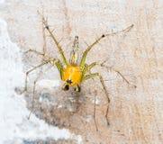 Αράχνη λυγξ (αράχνες άλματος) Στοκ Εικόνες