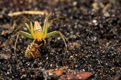 Αράχνη λυγξ με το θήραμα Στοκ Φωτογραφίες