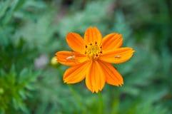Αράχνη λυγξ στο λουλούδι κόσμου Στοκ φωτογραφίες με δικαίωμα ελεύθερης χρήσης