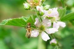 Αράχνη-υποστηριγμένο, ή nesravnennoe το υποστηριγμένο ή καβούρι Thomisidae αράχνη-οικογενειών επίασε τη μέλισσα lat Κήπος μεγάλο  Στοκ εικόνες με δικαίωμα ελεύθερης χρήσης
