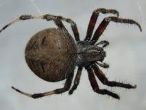 Αράχνη υφαντών σφαιρών Στοκ εικόνα με δικαίωμα ελεύθερης χρήσης