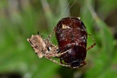 Αράχνη υφαντών σφαιρών Starbellied που πιάνει ένα ζωύφιο Ιουνίου στοκ εικόνες