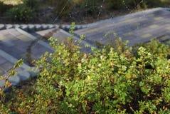 Αράχνη φθινοπώρου στον Ιστό αραχνών στον κήπο Στοκ Εικόνες