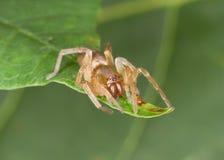 αράχνη φύλλων Στοκ φωτογραφίες με δικαίωμα ελεύθερης χρήσης