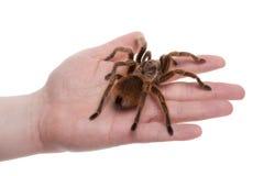αράχνη χεριών Στοκ Φωτογραφίες