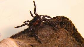 Αράχνη χοάνη-Ιστού του Σίδνεϊ στον τρόπο επίθεσης απόθεμα βίντεο