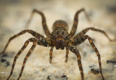 Αράχνη λύκων Στοκ φωτογραφία με δικαίωμα ελεύθερης χρήσης