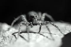 Αράχνη λύκων Στοκ φωτογραφίες με δικαίωμα ελεύθερης χρήσης