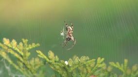 Αράχνη. απόθεμα βίντεο